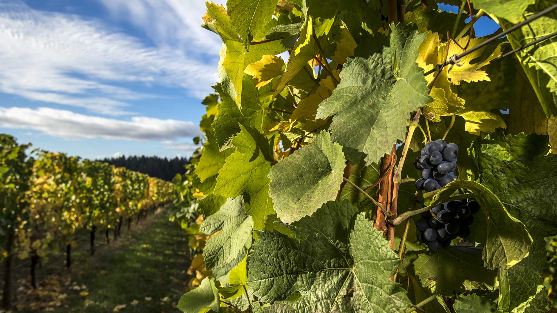 Oregon Wine Country: winery grapes on the vine